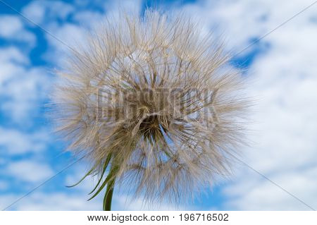 Dandelion against blue sky background close up