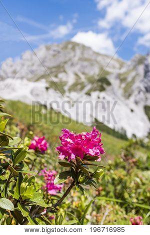 Hairy Alpenrose with mountain Gartnerkofel in Background on Nassfeld in Carnic Alps in Austria