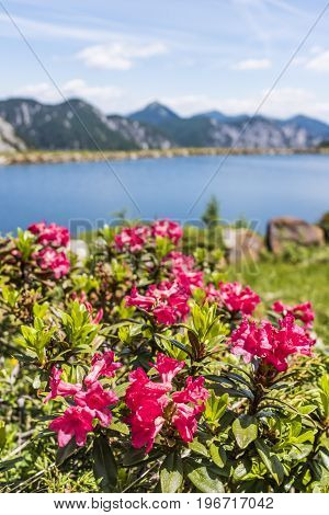 Hairy Alpenrose near lake in the mountains on Nassfeld in Carnic Alps with Julian Alps in the background
