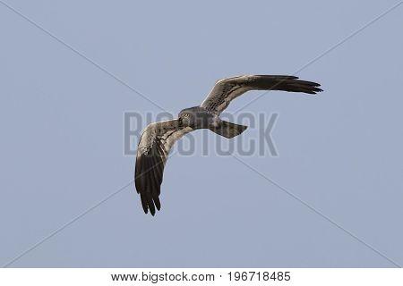 Montagus Harrier (circus Pygargus)