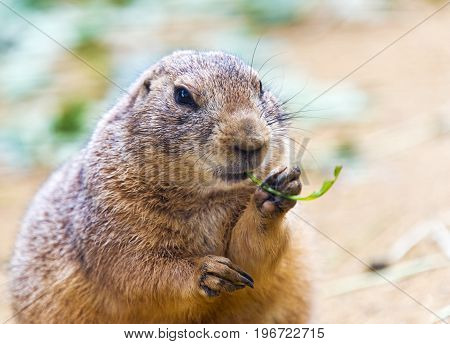 A black-tailed prairie dog eating green plant
