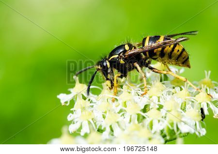 Closeup shot of a yellow wasp climbing and eating the flower on a green background.