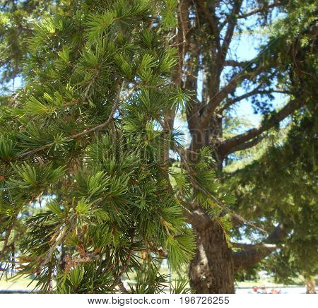 Treetop of the pine tree in the park