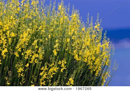 Yellow Spanish Broom On Blue Sky