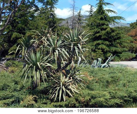 Old Yucca tree, Junipers and Cedars in the Mediterranean city park