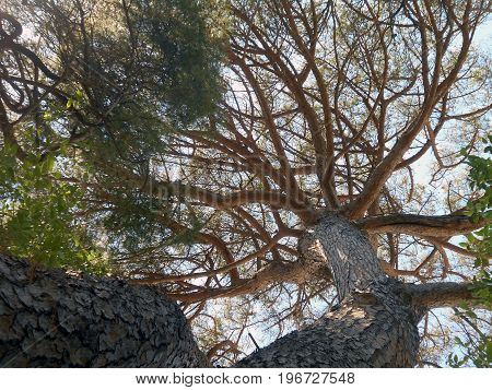 Treetops of pine trees in the coniferous wood