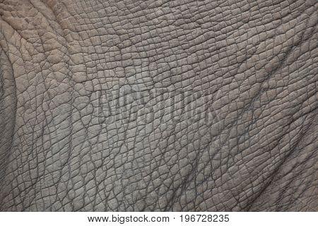 Southern white rhinoceros (Ceratotherium simum simum). Skin texture.