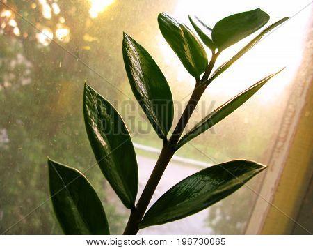 Zamioculcas zamiofolia home plant flower leaf on the window glass dry raindrops sun shine background photo