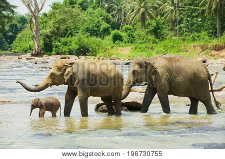 Elephant family cross river in Pinnawala, Sri Lanka.