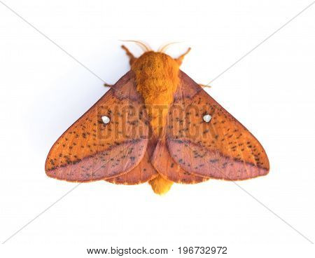 Pink-striped Oakworm Moth (Anisota virginiensis) isolated on a White Background