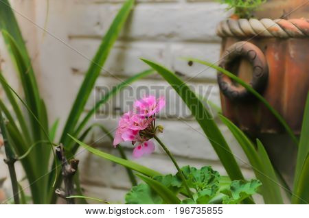 Bella flor rosa del jardín de mamá