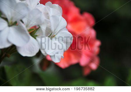 Bella flor blanca y rosa en el jardín