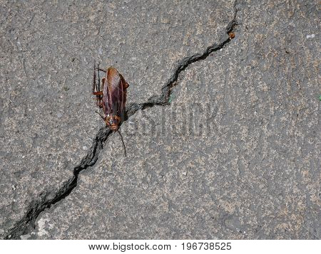 dead American cockroach on the crack concrete floor