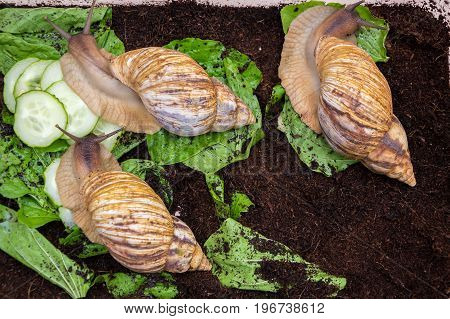 Giant snails creep along the ground and green leaves