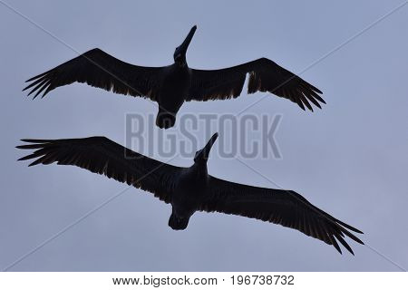 Pelicans Flying in Silhouette wings in formation