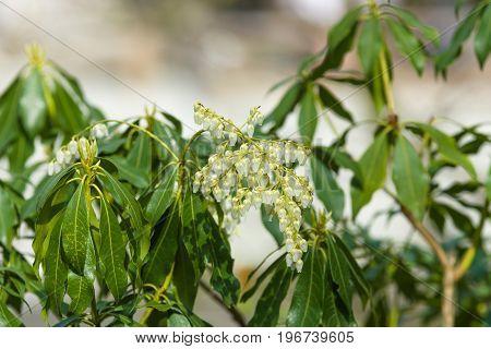 Flowering Pieris japonica (Japanese andromeda) in the garden.