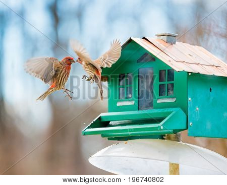 Two Red House-Finch Birds Kissing Each other in Mid-Air