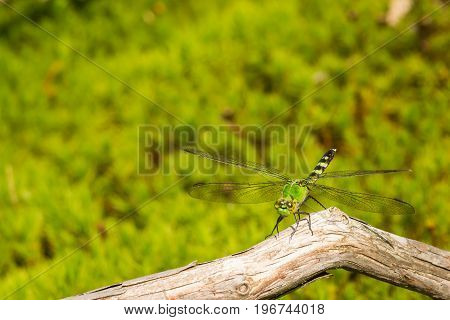 A close up of an Eastern Pondhawk