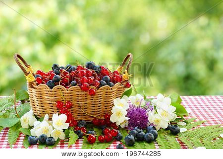 Red currants and blueberries in a wicker basket. Summer still life in the garden.