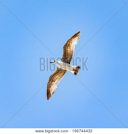 Seagull flying above the sea on the blue sky baclground.
