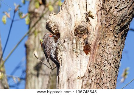 Northern Flicker a woodpecker at a cavity nest hole in the tree trunk.