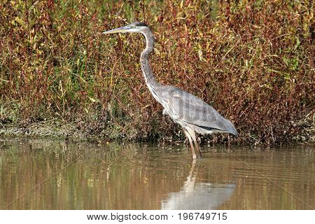 Great Blue Heron (Ardea Herodias) wading in water