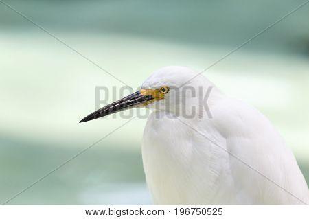 white snowy egret Egretta thula close up shot.