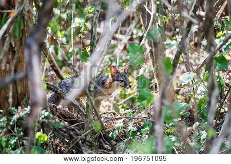 Fox In A Jungle