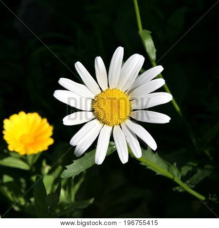 white Daisy on dark green blurred dark background