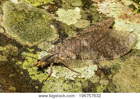 A close up of a female Eastern Dobsonfly