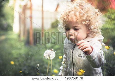 Cute curly child girl looking like dandelion blowing dandelion in summer park