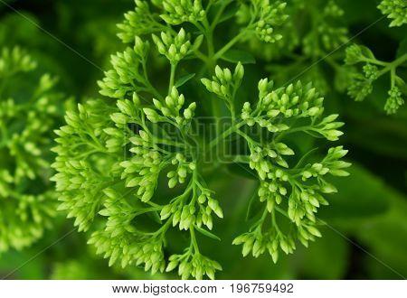 Rosette of a bright green flowering bush