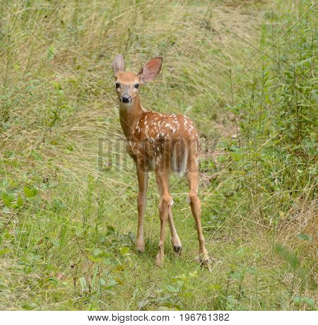 A Whitetail Deer fawn (Odocoileus virginianus) looking back over its shoulder while standing in a field of tall grass in Washington County, Maryland, USA.