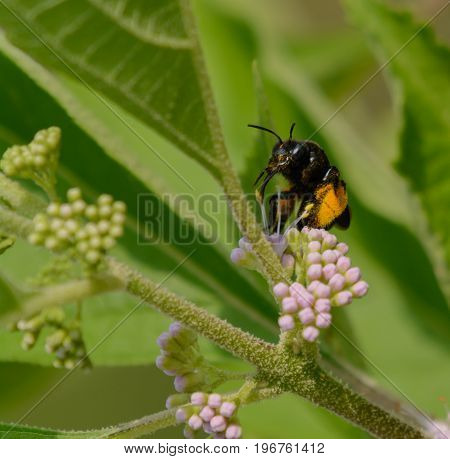 A Longhorn Bee (Melissodes bimaculata) gathers nectar from the blossoms of a Beauty Berry bush in Taneytown Carroll County, Maryland.  The bees legs are covered in pollen.