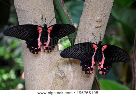 A pair of Scarlet Mormon butterflies sit on a tree waiting for takeoff.