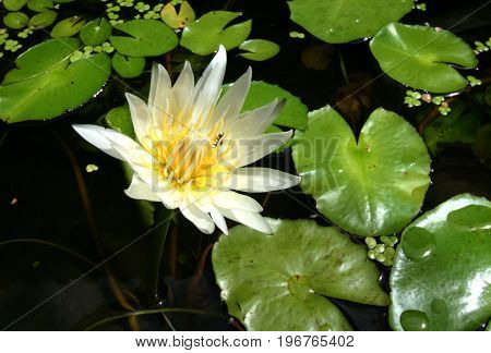 Water Lily- Nymphaeaceae is a family of flowering plants, commonly called water lilies.