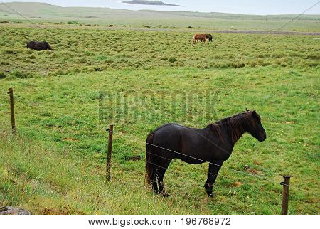 Icelandic horses in the middle of the meadow. Iceland