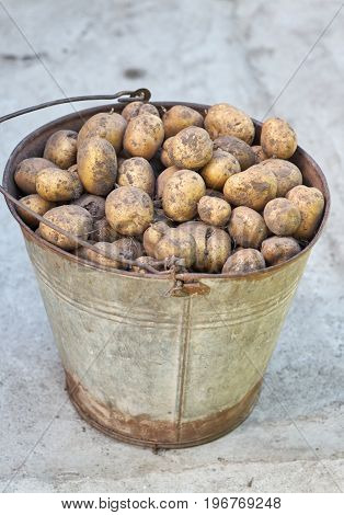 Potatoes in old metal bucket on a ground. Basket of fresh tasty new potatoes placed outdoor.Fall harvest
