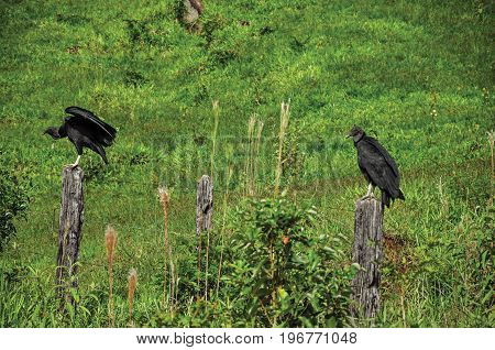 View of vultures on alert over trunks fence near the town of Joanópolis. In the countryside of São Paulo State, a region rich in agricultural and livestock products, southwestern Brazil