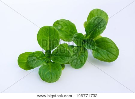 Corn salad isolated on white - Valerianella locusta known as lamb's lettuce mache fetticus feldsalat nusslisalat nut lettuce rapunzel.