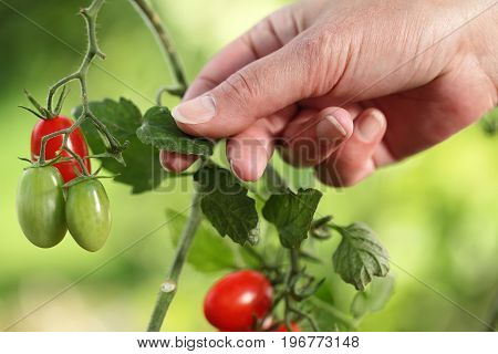Hands touch plant of cherry tomatoes control quality and cure the vegetable garden