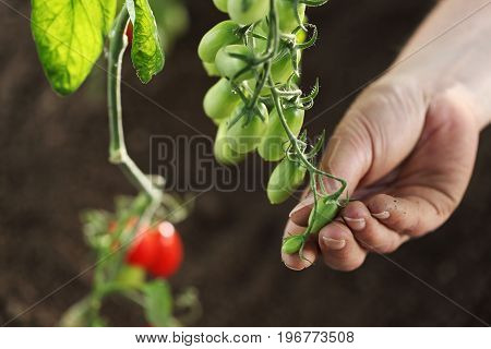 hand touch green cherry tomatoes plant in vegetable garden top view