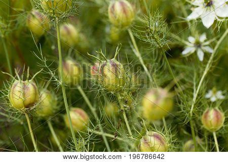 Seed capsule of black caraway Nigella sativa in a garden bedding. poster