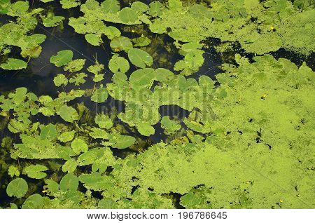 Texture Of Swamp Water Dotted With Green Duckweed And Marsh Vegetation
