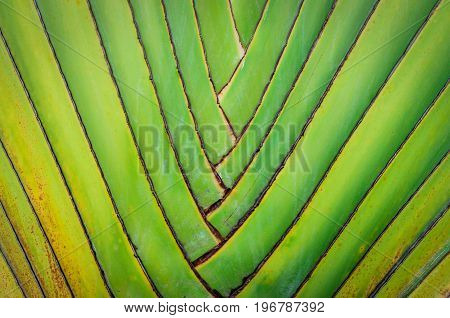 Big palm folding branches pattern texture background closeup