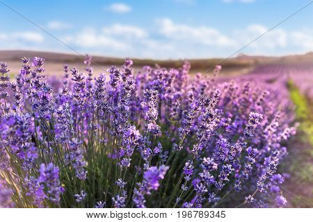 Close up of blooming lavender flowers under the blue summer sky and sun rays.