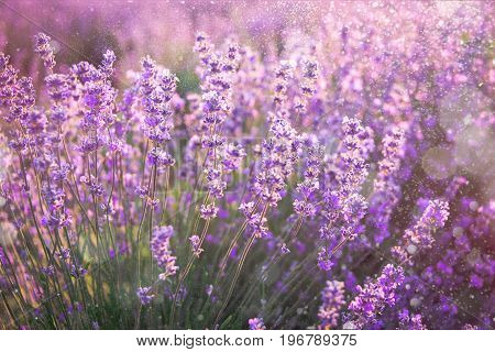 Close up of blooming lavender flowers under the summer sun rays. Lavender background.