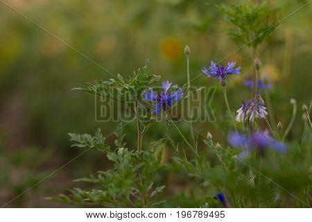 A blue field flower. Blue flower in the field