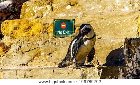 No Entry or Exit. Penguin looking to turn around and go down the stairs at Boulders Beach. Boulder Beach is home to a colony of African Penguins, in Simons Town in the Cape Peninsula of South Africa
