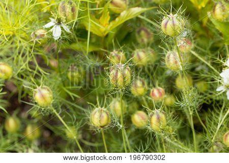 Seed capsule of black caraway Nigella sativa in a garden bedding.